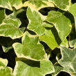 green leaves — Stock Photo #35687045