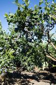 蓝莓树 — 图库照片