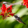 Stock Photo: Rufous Hummingbird