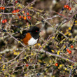 Stock Photo: spotted towhee