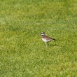 Stock Photo: Killdeer