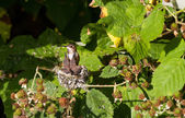 膢蜂鸟 — 图库照片
