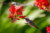 Rufous Hummingbird — Stock Photo