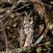 Stock Photo: Long eared owl