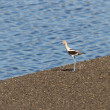 Stock Photo: AmericAvocet