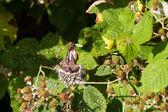 Rufous Hummingbird — Stock Photo
