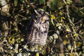 Long eared owl — Stock Photo