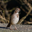 Stock Photo: Song Sparrow