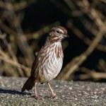 Song Sparrow — Stock Photo #39333175