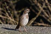 Song Sparrow — Stock Photo