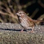 Song Sparrow — Stock Photo #40378605