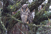 Long eared owl — Stock Photo