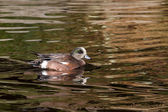 American Wigeon — Stock Photo