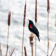 Red winged blackbird  — Stock Photo #41580537