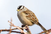 White-Crowned Sparrow — Stock Photo