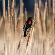 Red winged blackbird  — Stock Photo #41590221