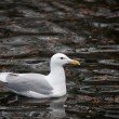 Stock Photo: Glaucous winged Gull