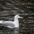 Glaucous winged Gull — Stock Photo #41590763
