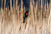 Red winged blackbird  — Stock Photo