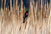 Red winged blackbird  — Stock Photo