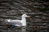 Glaucous winged Gull  — Stock Photo