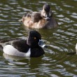 Stock Photo: Ring-necked Duck