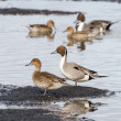 Northern Pintail  — Foto Stock #41756191