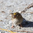 Stock Photo: Golden crowned Sparrow