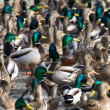 Stock Photo: mallard duck