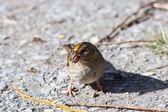 Golden crowned Sparrow — Stock Photo