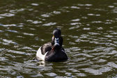 Ring-necked Duck  — Stock Photo