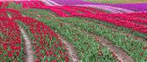 Tulip område — Stockfoto