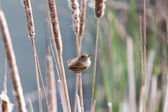 Marsh Wren — Stock Photo