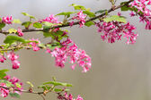Red flowering Currant  — Stock Photo
