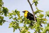 Yellow-headed Blackbird — Stock Photo