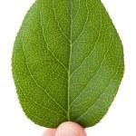 Green leaf — Stock Photo #9524763