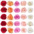 Collection of roses. — Stok fotoğraf #31325935