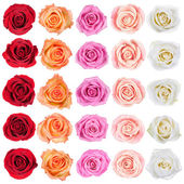 Collection of roses. — Stock Photo