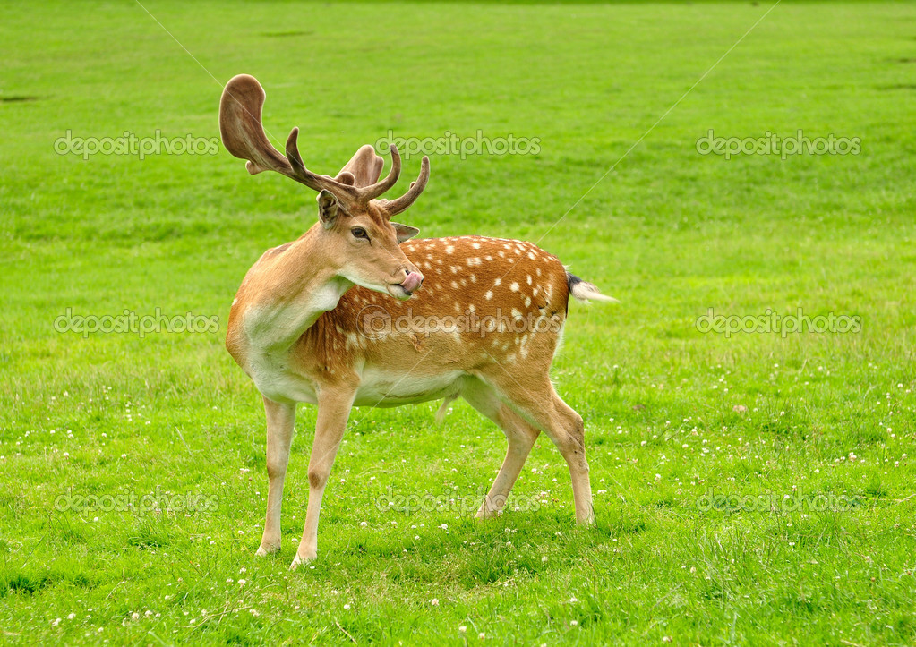 Fallow deer on a green grass — Stock Photo #12440132