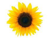 Sun floweron white — Stock Photo