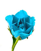 Blue rose with water droplets — Stock Photo