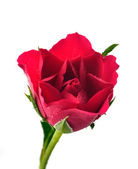 Red rose with water droplets — Stock Photo