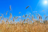 Golden field — Stockfoto
