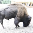 Stock Photo: Kinky bison in park