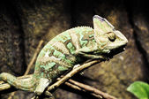 Chameleon on the branches — Stock Photo