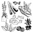Vector collection of hand drawn spices and herbs. — Stock Vector