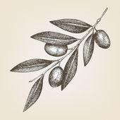 Oliv kvist — Stockvektor