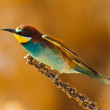 Stock Photo: European bee-eater, Merops apiaster