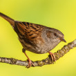 Stock Photo: Dunnock, Prunella modularis