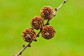 Four pinecones — Stock Photo